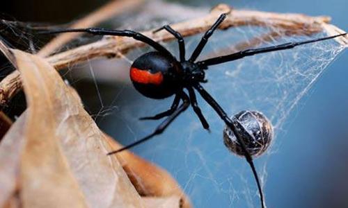 Kết quả hình ảnh cho nhện độc lưng đỏ