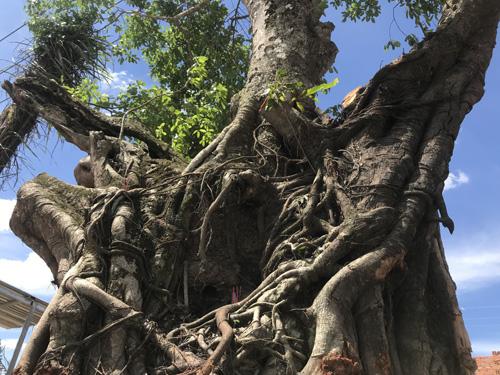 Cây Sộp cổ thụ hàng trăm tuổi đã bay về vị trí cũ