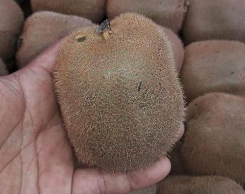 Ho nang vi kiwi Trung Quoc 25 ngan ban 170 ngan/kg