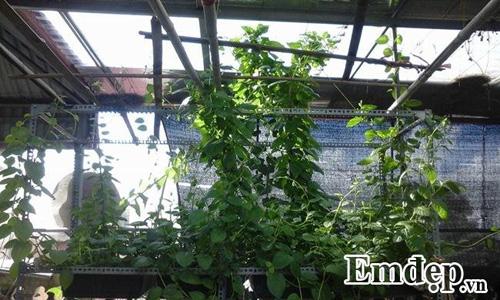 Trong rau sach, nuoi chim kin san thuong 60m2-Hinh-13