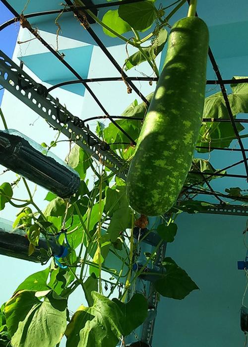 Vuon rau nho xinh xanh muot tren san thuong cua me Viet-Hinh-3