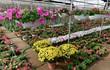 Làng hoa lớn nhất Hưng Yên nhộn nhịp chuẩn bị Tết