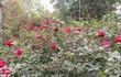 Ngắm vườn hồng có trên 20.000 gốc quý hiếm ở Hà Nội