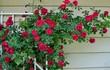 Cách trồng hồng leo cho hoa đẹp đón Tết