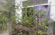 Kiểng lạ 100 tuổi, có lá tỏa hương thơm ở Nam Định