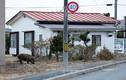 Chùm ảnh lợn rừng hoành hành sau thảm họa hạt nhân Fukushima
