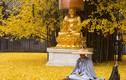 Đẹp vô ngần bạch quả ngàn năm tuổi trút lá nơi cửa Phật