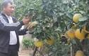 Bưởi Diễn phẩy nổi danh trên đất Bắc Giang