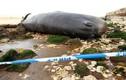 Mỹ: Cá nhà táng khủng, nặng 30 tấn chết thảm trên bãi biển
