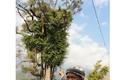 Bí ẩn 'cây thần' khổng lồ ngàn tuổi không dám đến gần ở Sơn La
