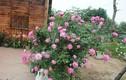 Khu vườn trăm loài hồng đẹp mê ly giữa lòng Hà Nội