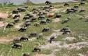 Chùm ảnh: Đàn trâu khủng 200 con giá hơn 4 tỉ đồng ở Hà Nội