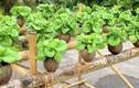 Vườn rau xanh tốt trong vỏ dừa, tiết kiệm chi phí lại đẹp nhà