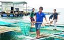 Hốt bạc tỷ nhờ nuôi tôm hùm, cá mú ở đảo Lý Sơn