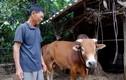 """Gặp lại """"con bò vô vọng"""" trong lũ dữ ở Quảng Bình"""
