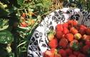 Phát thèm với vườn hoa quả sai lúc lỉu của bà mẹ Việt kiều