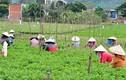 Ảnh: Phụ nữ nghèo đổ về đồng hoa làm thuê, kiếm tiền lo Tết
