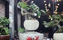Kinh ngạc xem siêu phẩm bonsai bay giữa Hà thành