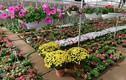 Chùm ảnh: Làng hoa đẹp ít người biết ở Hưng Yên