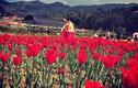 Giới trẻ phát sốt với cánh đồng hoa tulip ở Lào Cai