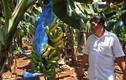 Người trồng chuối khốn đốn vì giá thấp kỷ lục trong 2 năm