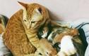 """Điên đảo với hình ảnh mèo """"soái ca"""" chăm vợ sinh con"""