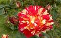 Ngẩn ngơ với vườn hồng đẹp như thiên đường ở Hà Nội