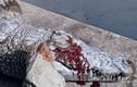 Cá sấu khổng lồ bị du khách ném đá vỡ đầu, tử vong