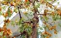 Cặp khế bonsai ra quả từ gốc tới đỉnh ngọn gây sốt
