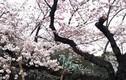 Chiêm ngưỡng hoa anh đào tuyệt đẹp trên đất nước Nhật Bản