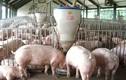 Sốc: 1 con lợn chịu 51 khoản phí từ chuồng ra chợ