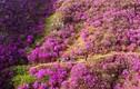 Đẹp mê hồn thung lũng hoa đỗ quyên khoe sắc
