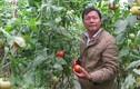 Trang trại cà chua Nhật, mỗi tháng bỏ túi gần 100 triệu