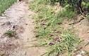 Bệnh lạ ám ảnh nông dân trồng hành ở Lý Sơn