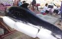 Đau thương lễ an táng cho cá voi dạt vào bờ
