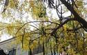 Ảnh: Hoa muồng hoàng yến vàng rực Cố đô Huế giữa trời hè