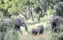 Gặp đối thủ tí hon, đàn voi sợ hãi chạy tán loạn