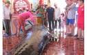 Cá voi mang thai nặng 1 tấn dạt bờ biển Phú Yên