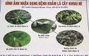 Bệnh lạ và nguy hiểm: Khảm lá mì lây lan chóng mặt ở Tây Ninh
