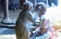 Khỉ hoang đi lạc vào nhà dân, kết bạn với bé gái