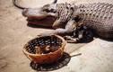 Kinh hoàng nghi vấn chủ cho cá sấu kiểng ăn mèo