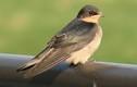 Khám phá hay ho về loài chim én quen thuộc