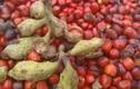 Khám phá thú vị về cây dổi, cây đặc hữu của Việt Nam