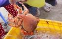 Khám phá thú vị về loài cua huỳnh đế nổi tiếng
