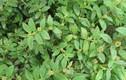 Điều bất ngờ ít biết về cây cỏ sữa thảo dược