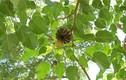 """Khám phá """"sốc"""" loài cây bã đậu có độc có ở Việt Nam"""