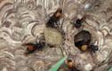 Điều ít biết về loài ong vò vẽ đốt chết người