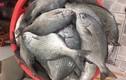 Sự thật bất ngờ về cá tà ma nổi tiếng Nha Trang