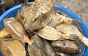 Khám phá loài cá bò hòm xấu nhưng hiếm của Phú Yên
