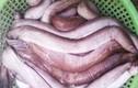 Sự thật gây choáng về cá ninja biển Nam Trung bộ